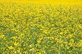 Fundo de Verão. Florescendo Prado amarelo.
