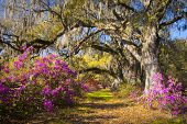 stock photo of lowlands  - Spring Flowers Charleston SC Azalea Blooms Deep South Landscape Photography with live oak trees in morning sunlight - JPG