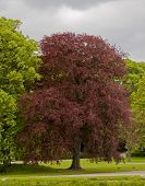 Proud solitary red beech