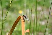 pic of broad-bodied  - libellula depressa Broad - JPG