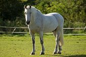 White Horse In A Paddock