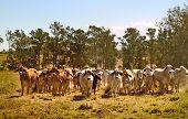 Australia cattle ranch Australian brahma beef cows