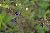 Rhamphicarpa longiflora