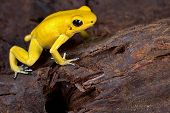 poison frog very poisonous animal with warning colors Phyllobates terribilis Colombia amazon rainforest toxic amphibian