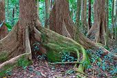 tree roots at tropical rainforest queensland Australia, Cape tribulation ancient rain forest