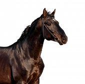 Horse head isolated on white background