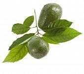 Frutas aguacates con hojas de árbol de aguacate, aislado en blanco