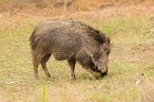 American Collared Peccary or Javelina, a species of Suidae found with a range from the southwestern states of the United States down through Central America into the northern  South America