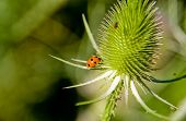 Ladybug On Stinging Plant
