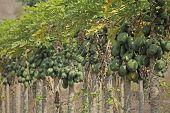 Green Papayas on tree, Carica papaya, Caricaceae, Maharashtra, India