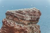 Top Of The Lange Anna On Helgoland With Many Birds