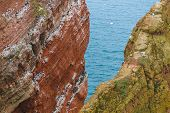 Lummen On Helgoland In Early Spring On A Rock