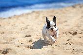 French bulldog puppy running on the beach