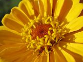 Close up of yellow zinnia stamens