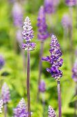 Blue Salvia  Flowers