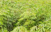 Cassava or Manioc plantation is grown