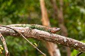 Kaiman echse Sonnen auf einem Regenwald-Zweig