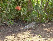 Indian Garden Lizard In Its Natural Habitat