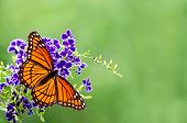 picture of butterfly flowers  - Viceroy butterfly  - JPG