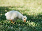 Chinese Goose gosling