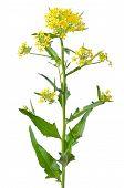 Flor de Brassica Campestris