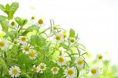 picture of fragrance  - Fragrant medicinal herbs - JPG