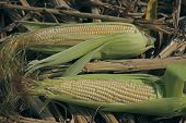 Maize corns zea mays var amylacea, Maharashtra, India