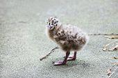 little seagull baby