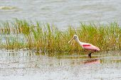 Roseate spoonbill, Platalea ajaja, wading in lake while feeding