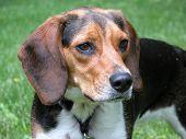 Beagle Hound Dog