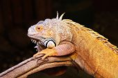 stock photo of godzilla  - Yellow iguana sitting on the tree in aquarium - JPG