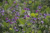 Fowers of Lablab purpureus L., Pawata, Papilionaceae, Leguminosae, Papilionoideae, Fabaceae