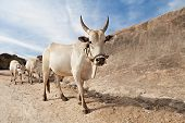foto of taboo  - cows on the village road hampi india - JPG