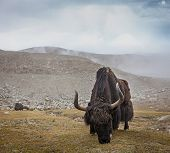 image of yaks  - Yak grazing in Himalayas - JPG