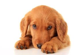 image of puppy eyes  - Golden retriever puppy - JPG