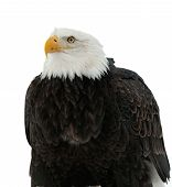 Close Up Portrait Of A Bald Eagle