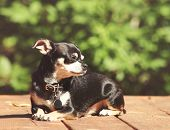 stock photo of applehead  - a cute chihuahua sitting in the sun - JPG