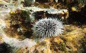 White Urchin