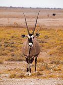 Oryx antílope