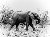 African Elephant In Black And White(loxodonta)