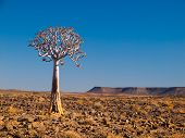 Aloe Tree (quiver) In Fish River Canyon National Park