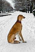Saluki (persian Greyhound, Royal Dog Of Egypt) At The Winter Walk