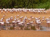 Flamingos Near Walvis Bay