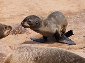 Brown Fur Seal (arctocephalus Pusillus)