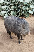 image of javelina  - A collared peccary or javelina - JPG