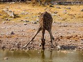 Thirsty Giraffe Drinking From Waterhole