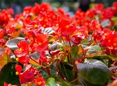 Red African Tulip Tree (spathodea Campanulata)