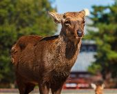 Sika Deer At The Great South Gate (nandaimon) Of Todaiji Temple In Nara