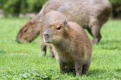 Young capybara