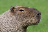 Portrait view of a Capybara